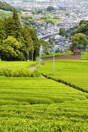 Cityscape of tea plantation Metropolitan Kanaya