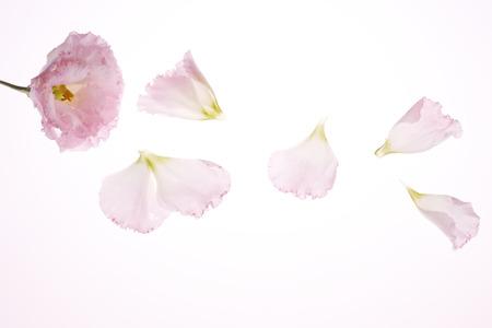 Photo pour Carnation petal - image libre de droit