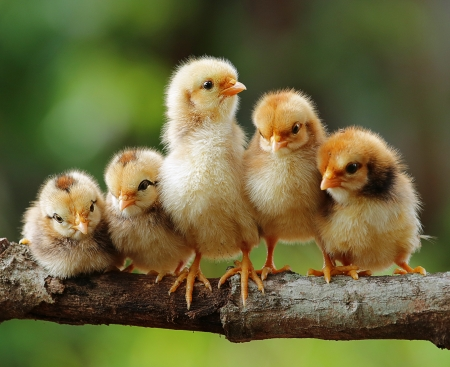 Foto de Group portrait of Cute Chicks - Imagen libre de derechos