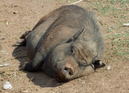 This is a lazy pig lying in the sun