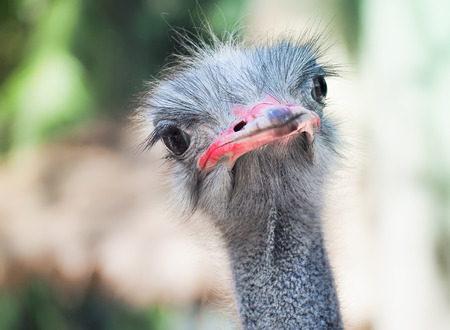 Inquisitive ostrich bird in the park, Selective focus and close up image