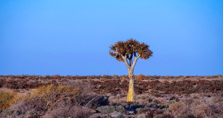 Photo for African landscape with a lone quiver tree and wide open blue sky image in landscape format with copy space - Royalty Free Image