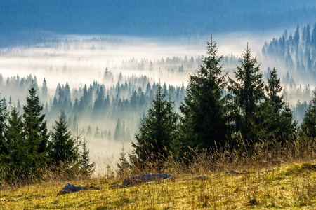 Photo for fir trees on a meadow down the will  to coniferous forest in foggy mountains of Romania - Royalty Free Image