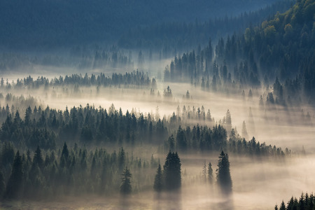 Photo for fir trees on a meadow down the will  to coniferous forest in foggy mountains - Royalty Free Image