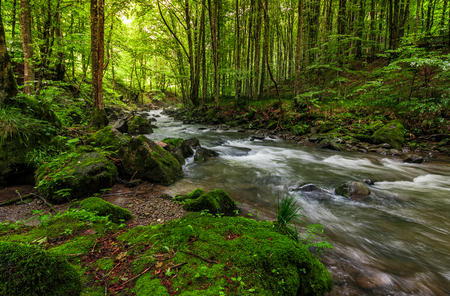 Foto de Rapid stream flow through ancient green forest. stones covered with moss lay on the shore. beautiful nature view in summer time. - Imagen libre de derechos