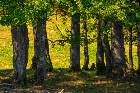 Photo for beech forest on a grassy meadow background - Royalty Free Image