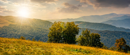 Photo for beautiful panorama of Carpathian mountains in early autumn weather. few beech tree tops behind the grassy slope of a ridge under sky with clouds at sunset - Royalty Free Image