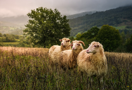 Photo for sheep grazing in a fog near old oak. beautiful scenery on rainy autumn day in mountainous rural area. three curious wet animals stand in a weathered grass looking somewhere in a distance - Royalty Free Image