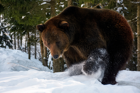 Photo for brown bear searching something in the snow. lovely wildlife scenery - Royalty Free Image