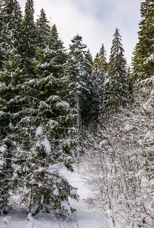 Photo for snowy spruce trees in forest. lovely nature background in winter - Royalty Free Image