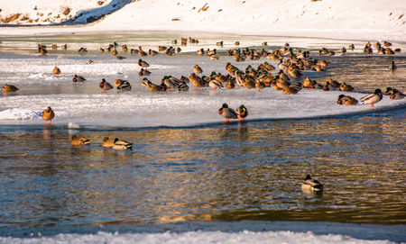 Photo for flock of ducks on the ice of frozen river. some birds swim in the water - Royalty Free Image