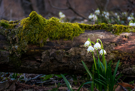 Photo for Blooming of White spring Snowflake near the fallen tree in springtimeforest. Snowflake also called Summer Snowflake or Loddon Lily or Leucojum vernum - Royalty Free Image