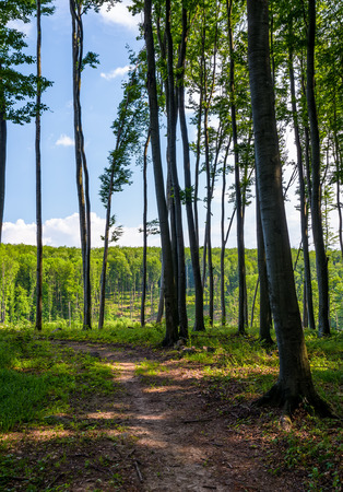 Photo for path through forest with tall trees. lovely summer scenery - Royalty Free Image