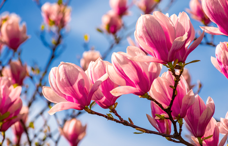 Foto de magnolia flowers branch on a blue sky background - Imagen libre de derechos