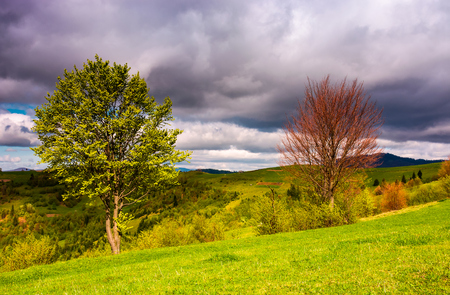 Photo pour two trees on a grassy slope in springtime. lovely nature scenery in mountainous rural area - image libre de droit