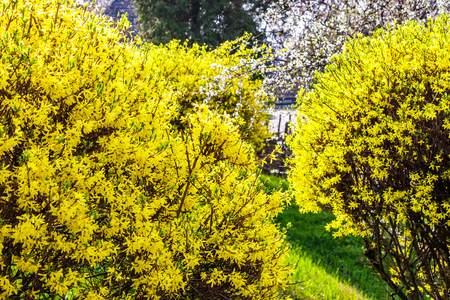Foto de yellow flowers of forsythia shrub. lovely nature background in the garden on sunny springtime day - Imagen libre de derechos