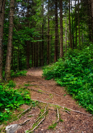 Photo for footpath in ancient coniferous forest. lovely nature scenery in summertime - Royalty Free Image