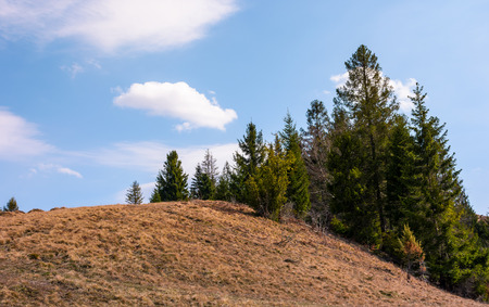 Foto de spruce forest on the edge of hillside covered with weathered grass. lovely nature scenery in springtime under the blue sky with some clouds - Imagen libre de derechos