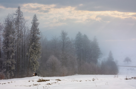 Photo for forest in hoarfrost at foggy sunrise. lovely nature scenery in winter - Royalty Free Image