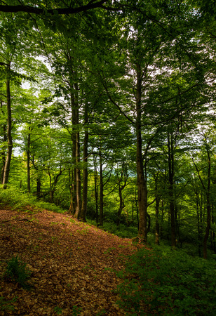 Photo for meadow in ancient beech forest. lovely nature scenery in Carpathian woods - Royalty Free Image