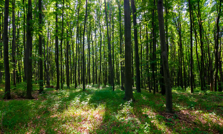 Photo for dense beech forest with tall trees. beautiful nature background - Royalty Free Image