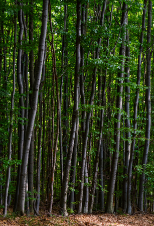 Photo for tall beech trees with green foliage. beautiful summer nature background - Royalty Free Image