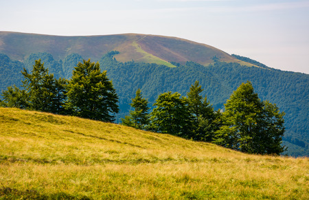 Photo for forested hills of Carpathian mountains. beautiful summer landscape. beech trees on a grassy hillside meadow. mountain Apetska in the distance - Royalty Free Image