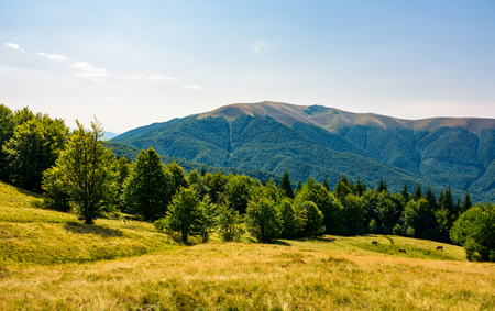 Photo for beech forest on grassy meadows in mountains. beautiful Landscape at the foot of Carpathian mountain Apetska - Royalty Free Image