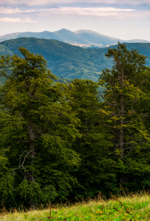 Photo for beech forest of Carpathian mountains in afternoon. lovely nature scenery in summertime. Svydovets mountain ridge in the distance under the cloudy sky - Royalty Free Image
