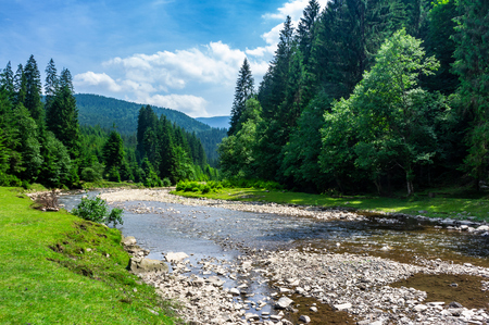 Foto de mountain river among the forest in summer. rocky shore and grassy banks. low water capacity. green ancient spruce forest on hillside. cloud formation on blue sky over the mountains in the distance - Imagen libre de derechos