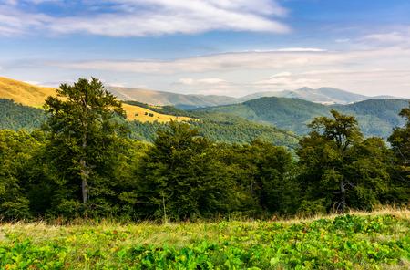 Photo for beech forest of the Svydovets mountain ridge. beautiful summer landscape of Carpathians, Ukraine - Royalty Free Image