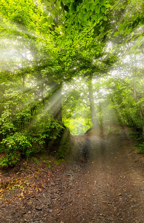 Photo for dirt road through beech forest. beautiful nature scenery with tall trees - Royalty Free Image