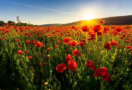 Photo pour poppy flowers field in mountains. beautiful summer landscape at sunset - image libre de droit