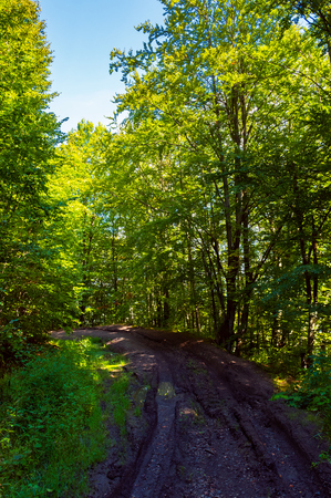 Photo for dirt road through forest. lovely nature scenery with tall trees and green foliage - Royalty Free Image