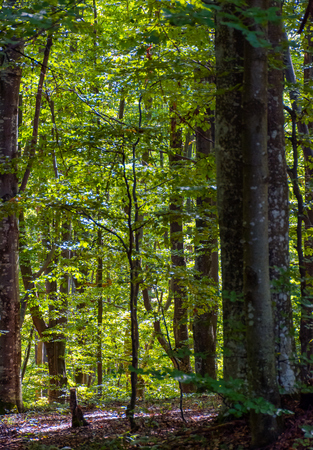 Photo for look in to the deep dark beech forest in summer. lovely nature background with tall trees and green foliage - Royalty Free Image