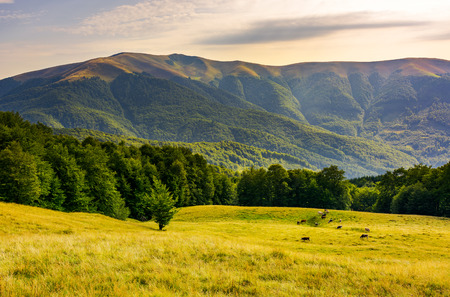 Photo for cattle of cow grazing at the foot of Apetska mountain. wide grassy meadow on hillside surrounded with beech forest. beautiful Carpathian summer landscape in afternoon - Royalty Free Image