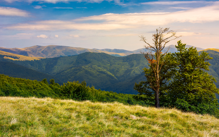 Photo for beech trees on a meadow of Svydovets ridge. beautiful scenery of Carpathian mountains in august - Royalty Free Image