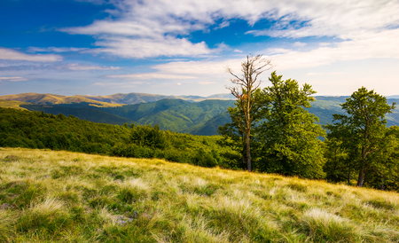Photo for beech trees on a meadow of Svydovets ridge. beautiful landscape of Carpathian mountains in late summer - Royalty Free Image