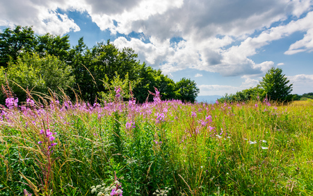 Photo for Meadow with fire weed near the beech forest. beautiful summer scenery on a warm and cloudy day. lovely purple flowers in bright sunlight - Royalty Free Image