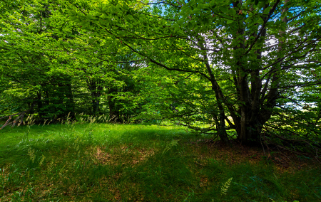 Photo for deep ancient beech forest in summer. beautiful silent scenery - Royalty Free Image