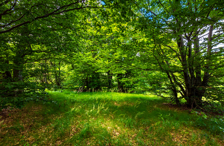 Photo for deep ancient beech forest glade. beautiful summer scenery - Royalty Free Image