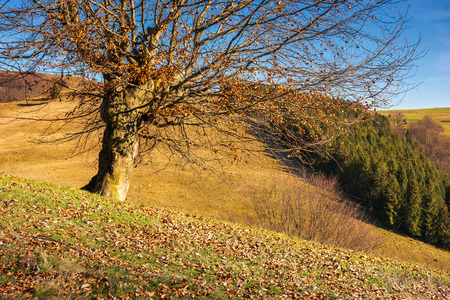 Photo for leafless beech tree on hill. brown foliage on the ground. sad autumn scenery on a sunny day. - Royalty Free Image