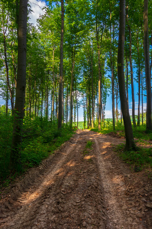 Photo for dirt road uphill through the deep beech forest. beautiful nature scenery with tall trees - Royalty Free Image
