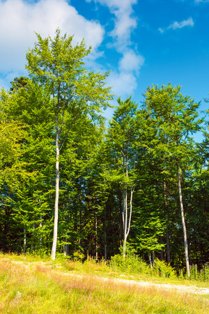 Photo for margin of the beech forest. lovely nature scenery in summertime - Royalty Free Image
