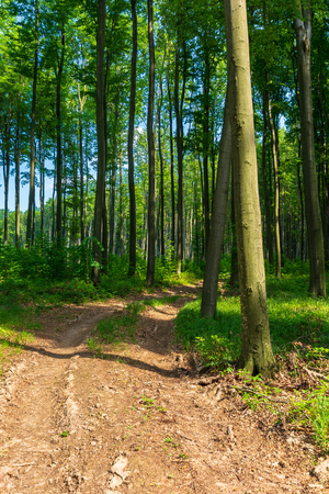 Photo for dirt road through beech forest. beautiful springtime scenery. - Royalty Free Image