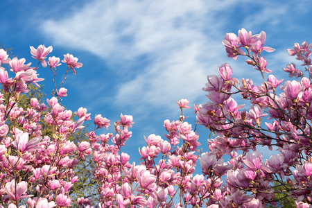 Photo pour pink magnolia blossom in spring. beautiful flowers beneath a blue sky with fluffy cloud on a sunny day. wonderful nature background - image libre de droit