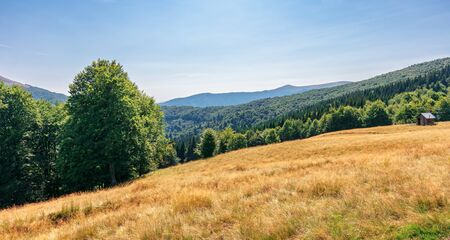 Photo for primeval beech forest in mountains. meadows in weathered grass. range of ridges in the distance. wonderful carpathian summer landscape. fine weather in august. - Royalty Free Image