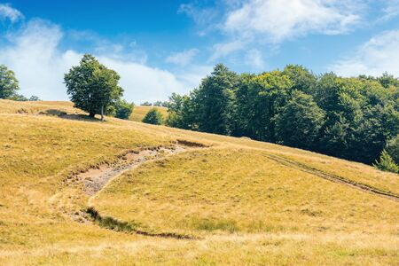 Photo for lush tree near the dirt road uphill. beautiful summer scenery in august. meadow on the hill in weathered grass. primeval forest on the slope. blue sky with clouds on a sunny day - Royalty Free Image