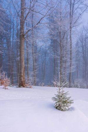 Photo for enchanted winter scenery. small spruce tree in hoarfrost on a snow covered meadow in front of a beech forest in morning mist. cute christmas background with copyspace - Royalty Free Image