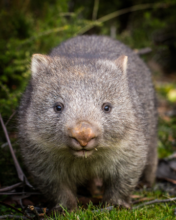 Photo for A close up portrait of a baby bare nosed wombat (Vombatus ursinus) - Royalty Free Image